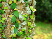 Ivy on tree bark — Stock Photo