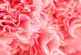 Pink carnation flower close up — Photo