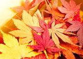 Autumn maple leaves background — Stock Photo