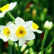 Royalty-Free Stock Photo: Narcissus flower