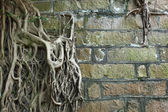 Root of tree covered old wall — Stock Photo