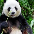 Giant panda eating bamboo - Stockfoto