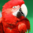 Red macaw — Stock Photo #25121863