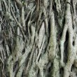 Tree roots — Stock Photo