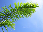 Green leaf of coniferous tree under blue sky — Stock Photo