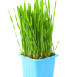 Stock Photo: Grass in flowerpot isolated on white