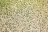 干的草坪 — 图库照片