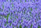 Purple muscari botryoides field — Stock Photo