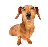 Dachshund dog isolated on white background — Stock Photo
