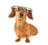 Cane bassotto con occhiali — Foto Stock