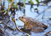 Frog in pond — Stock Photo
