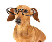 Dachshund dog wear glasses — Stock Photo