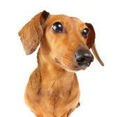 Dachshund dog close up — Stock Photo