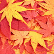 Dried maple — Stock Photo