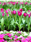 Фиолетовые тюльпаны — Стоковое фото