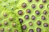 Vagem de semente de lótus — Foto Stock