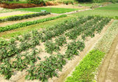 Farm with vegetable — Stock Photo