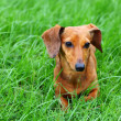 Stock Photo: Dachshund dog on grass