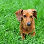 Dachshund dog on grass — Stock Photo