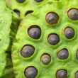 Lotus seed pod — Stock Photo #27859145