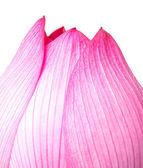 Pink lotus isolated on white background — Stock Photo