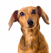 Hesitate of Dachshund dog — Stock Photo