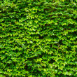 Green leaves wall background — Stock Photo #28586363