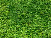 Arka plan parlak yeşil sarmaşık yaprakları — Stok fotoğraf