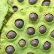 Lotus seed pod — Stock Photo #29419091