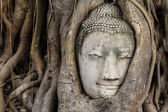 Buddha head in a tree trunk, Wat Mahathat — Stock Photo