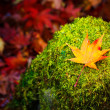 Stock Photo: Maple on mossy stone