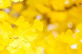Autumn gingko — Stock Photo