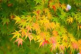 Autumn maple tree — Stockfoto