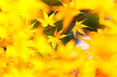 Yellow maple leaves background — Stock Photo