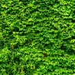 Green leaves wall — Stock Photo #30367959