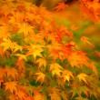 Maple tree — Stock Photo #30368489
