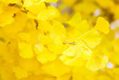 Yellow leaves of ginkgo — Stock Photo