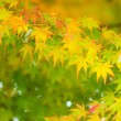 Maple tree — Stock Photo #30617027