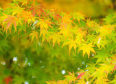 Maple tree — Foto de Stock