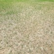 Stock Photo: Dried lawn