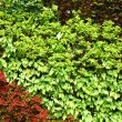 Green plant wall — Stock Photo