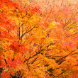 Autumn maple forest — Stock Photo