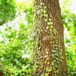 Green creeper on tree — Stock Photo