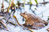Frog in lake — Stock Photo