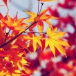 Autumn maple — Stock Photo #31666913