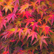Autumn maple — Stock Photo #32508511
