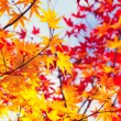 Color changing maple leave in autumn — Stock Photo