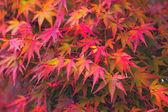 Maple otoñal — Foto de Stock