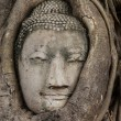 Buddha head in tree — Stock Photo