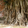 Buddha head in old tree — Stock Photo